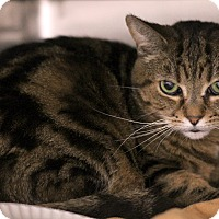 Adopt A Pet :: PJ Tiger - Chicago, IL