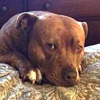 American Pit Bull Terrier Dog for adoption in Fredericksburg, Virginia - Max- Courtesy Listing