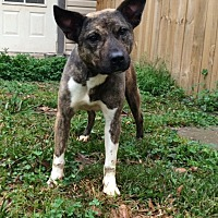 Boxer/Bull Terrier Mix Dog for adoption in Baton Rouge, Louisiana - Swiper