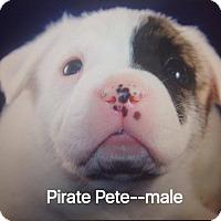 Adopt A Pet :: Pirate Pete - Daleville, AL