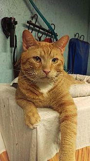 Domestic Shorthair Cat for adoption in Brainardsville, New York - Toby