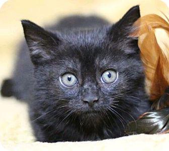 Domestic Shorthair Kitten for adoption in Raleigh, North Carolina - Sorbet K