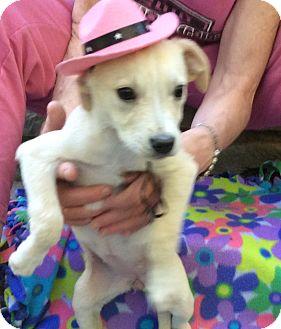 Labrador Retriever Mix Puppy for adoption in Burlington, Vermont - Alyanna