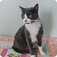 Domestic Shorthair Cat for adoption in China, Michigan - Macy