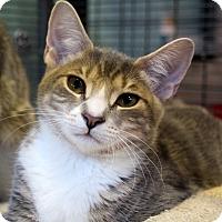 Adopt A Pet :: Silver - Sarasota, FL