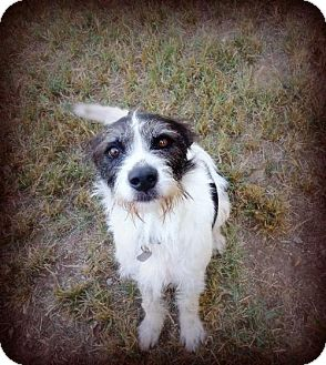 German Wirehaired Pointer/Terrier (Unknown Type, Medium) Mix Dog for adoption in Spartanburg, South Carolina - Prancer
