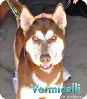 Siberian Husky Dog for adoption in Carrollton, Texas - Vermicelli