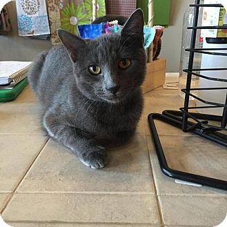 Domestic Shorthair Cat for adoption in Flower Mound, Texas - Ariel