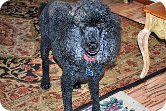Standard Poodle Dog for adoption in Bay City, Michigan - Yogi