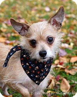 Terrier (Unknown Type, Small) Mix Dog for adoption in Davison, Michigan - Abe