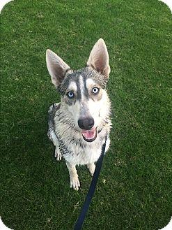 Siberian Husky Mix Dog for adoption in Alpharetta, Georgia - Zola