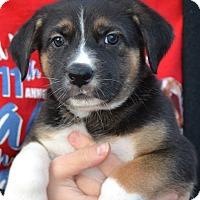 Adopt A Pet :: Socks - Simi Valley, CA