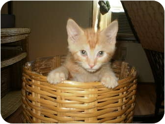 Domestic Shorthair Kitten for adoption in Morris, Pennsylvania - Benny