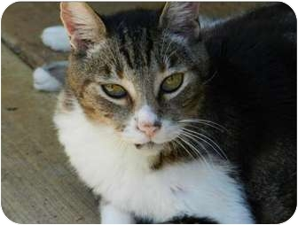 Domestic Shorthair Cat for adoption in Makawao, Hawaii - Storm
