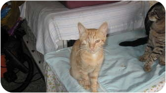 Domestic Shorthair Cat for adoption in Clay, New York - BABY RED