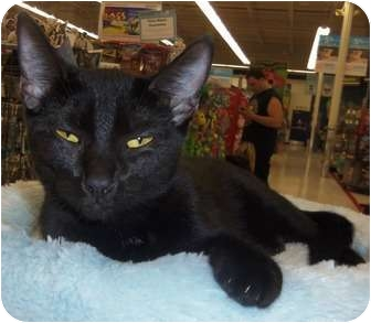Domestic Shorthair Kitten for adoption in Orlando, Florida - Spirit