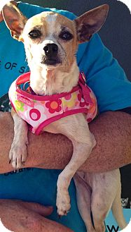 Chihuahua Mix Dog for adoption in San Diego, California - Marci