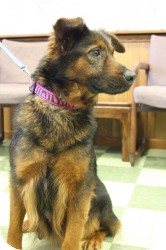 Shepherd (Unknown Type) Mix Dog for adoption in Dover, Ohio - Joy