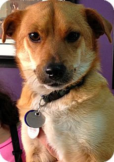 Corgi/Dachshund Mix Dog for adoption in Thousand Oaks, California - Ace