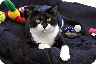 Domestic Shorthair Cat for adoption in Chicago, Illinois - Tommy Tune