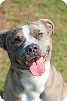 Catahoula Leopard Dog/Pit Bull Terrier Mix Dog for adoption in Tampa, Florida - Lucky