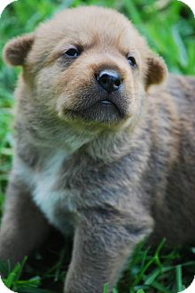 German Shepherd Dog/Jindo Mix Puppy for adoption in Torrance, California - BRUIN