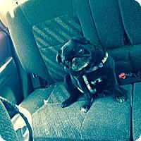 Adopt A Pet :: T.J. - Huntingdon Valley, PA