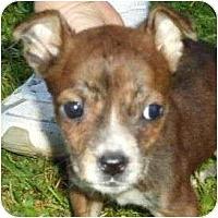 Adopt A Pet :: Izabella - Allentown, PA