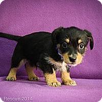 Adopt A Pet :: Siegfried - Broomfield, CO