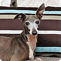 Adopt A Pet :: Lawson in Sugarland/Houston - Argyle, TX