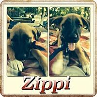 Adopt A Pet :: Zippi meet me 10/9 - East Hartford, CT