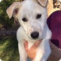 Adopt A Pet :: Snowman - Scottsdale, AZ