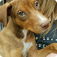 Adopt A Pet :: Idgie~ meet me! - Glastonbury, CT