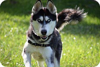 Siberian Husky Dog for adoption in Jupiter, Florida - Sasha