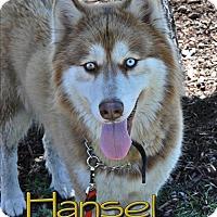 Adopt A Pet :: Hansel--Foster needed! - Carrollton, TX