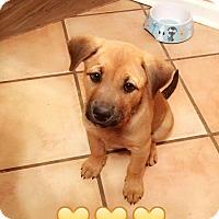 Adopt A Pet :: LAUREL - CHICAGO, IL