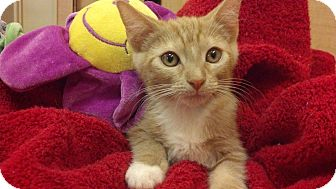Domestic Shorthair Kitten for adoption in Scottsdale, Arizona - March