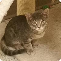 Adopt A Pet :: Cotton Ball - Phoenix, AZ