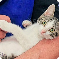 Domestic Shorthair Kitten for adoption in Mobile, Alabama - Shirley
