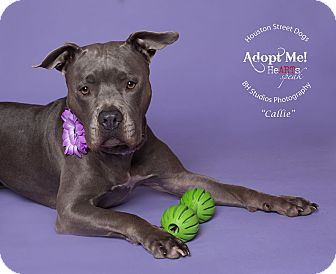 Mastiff/Pit Bull Terrier Mix Dog for adoption in Houston, Texas - Callie