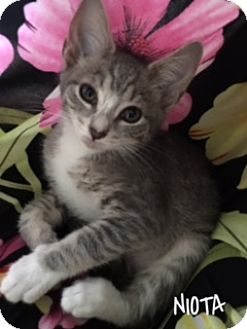 American Shorthair Kitten for adoption in Great Neck, New York - Niota