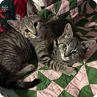Domestic Shorthair Kitten for adoption in Los Angeles, California - Marley & May Star
