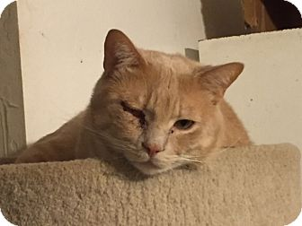 Domestic Shorthair Cat for adoption in Valley Center, California - Sport