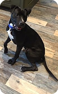 Labrador Retriever/Pit Bull Terrier Mix Dog for adoption in Seattle, Washington - A - WILLIE