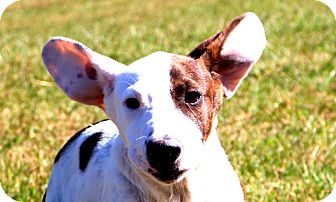 Hound (Unknown Type)/Bulldog Mix Puppy for adoption in Glastonbury, Connecticut - Herby~ meet me!