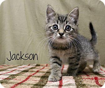 Domestic Shorthair Kitten for adoption in Melbourne, Kentucky - Jackson