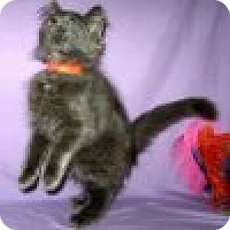Domestic Longhair Cat for adoption in Powell, Ohio - Dusty