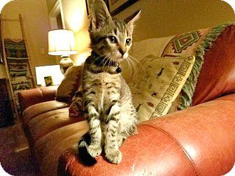 American Shorthair Kitten for adoption in Sugar Land, Texas - Xena Warrior Princess