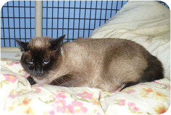 Siamese Cat for adoption in Colmar, Pennsylvania - Madelena