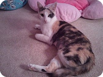 Calico Cat for adoption in Laguna Woods, California - Scarlett